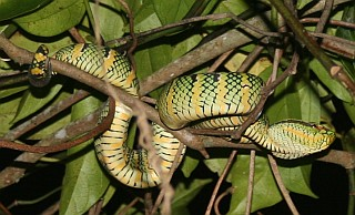 Younger color variant of the Wagler's Pit Viper