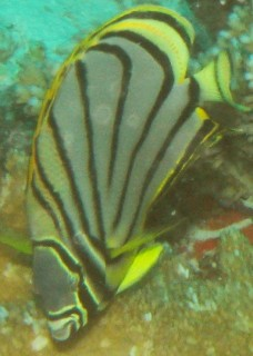 The elegant Meyer's Butterflyfish