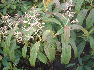 This cacaotillo shrub dominates the hillsides of San Cristobal Island in the miconia zone.