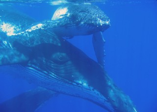 A mother humpback and her calf in clear Tongan waters.