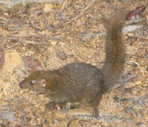 Mountain Treeshrew, on Mt. Kinabalu