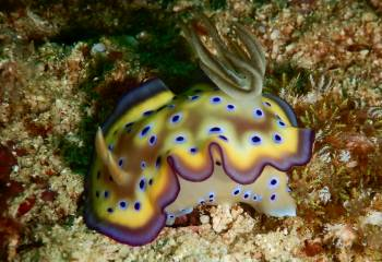 A stunning snudibranchl that we haven't ID'd. By Rainer