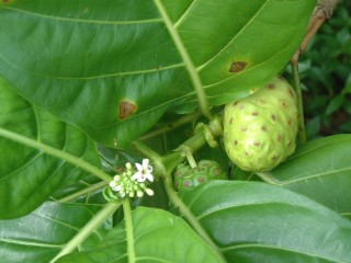 The noni fruit is harvested commercially and used for cosmetics, shampoo, and skin lotions