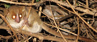 Northern Brown Mouse Lemur