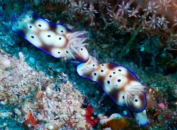 A pair of chromodoris nudibranchs, unsure ID. Maybe Coi
