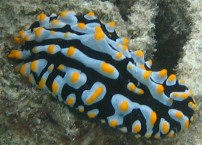 Nudibranch at Lizard Island, Australia