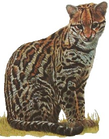 The Ocelot is a small wildcat that likes the water