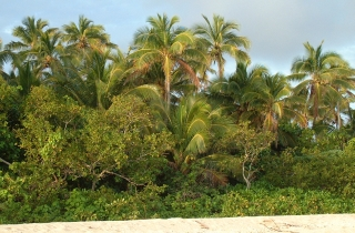 Coconut palms stand tall above the coastal vegetation in the South Pacific Islands