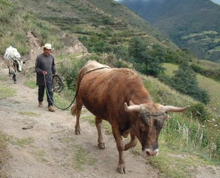 "Oxen are the ""tractors"" of the Andes."
