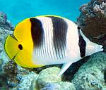 Pacific Double Saddle Butterfly fish
