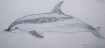 Pantropical spotted dolphin. Drawing by Sue Hacking