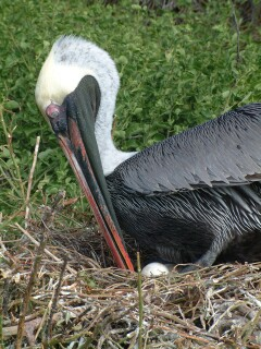 Pelicans typically lay only a few eggs, in large nests of sticks on the shoreline