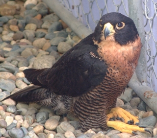 A previously injured Peregrine Falcon at the Eco center