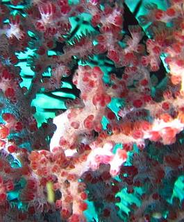 Pygmy seahorse, Hippocampus bargibanti, camouflaged in sea fan. Triton Bay