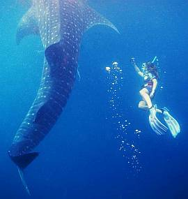 Snorkeling with an 18m whale shark. Triton Bay