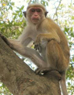 A Red Faced Macaque in Yala National Park