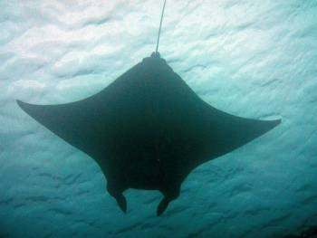 Reef mantas glide over divers at the cleaning station