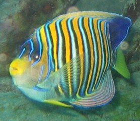 The Regal Angelfish is a favorite for divers and snorkelers.