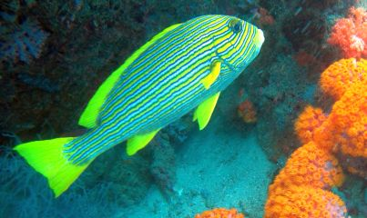 A large Ribbon Sweetlips cruises by soft corals, Christmas Rock