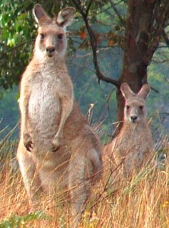 A large male stands guard in front of a female grey kangaroo