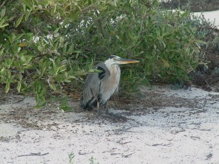 A familiar bird, the Great Blue Heron is widespread throughout our travels