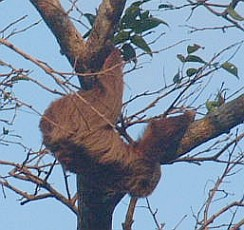 A Two-toed Sloth moves slooooowly along a branch