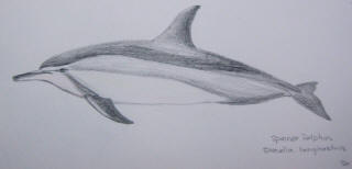 Spinner dolphin. Drawing by Sue Hacking