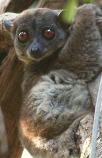 Ankarana Sportive Lemur, in typical upright position