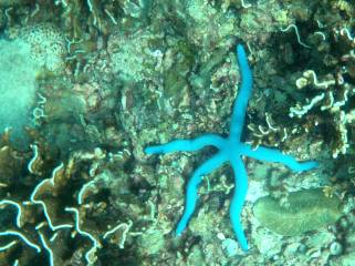 A blue starfish amongst the corals in Ko Racha