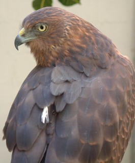 A larege soaring bird over Fiji is likely to be the Swamp Harrier