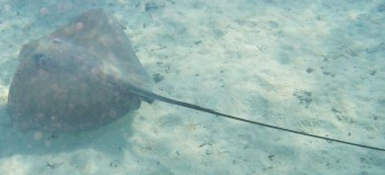 The Tahitian Stingray - click on the image to see his stinger