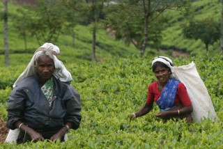 1000 women pick tea each day at the Lipton plantation, Haputale