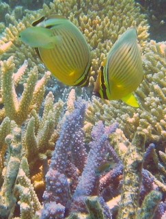 Two Redfin Butterflyfish over acorpora coral