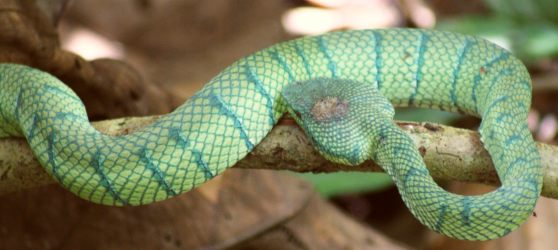 The third (Sulawesi) color phase of the venomous Wagler's Pit Viper