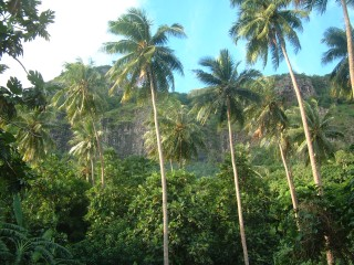 Coconuts stand above other trees on Maupiti's mountain slopes