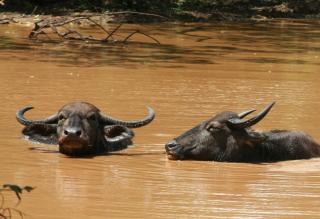Water Buffalo soaking in a muddy pond in Yala