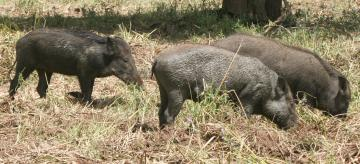 A family of wild boars