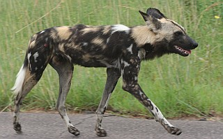 An African wild dog with its mottled colors