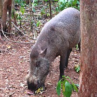 A Bearded Pig in the rain forest of Kalimantan, Indonesia