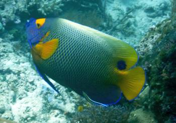Yellow Masked Angelfish, Frewin, Raja Ampat