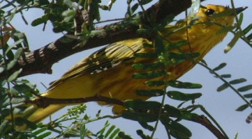 Yellow Warbler in an acacia tree, Bonaire