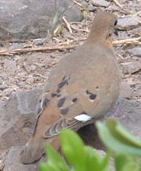 The common Zenaida Dove