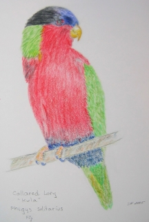 Collared Lory, a Fijian endemic. Drawing by Sue Hacking